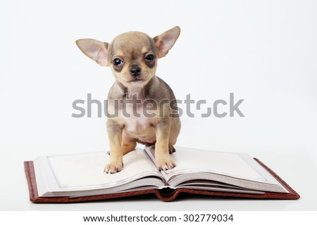 photo of cute puppy chihuahua reading book