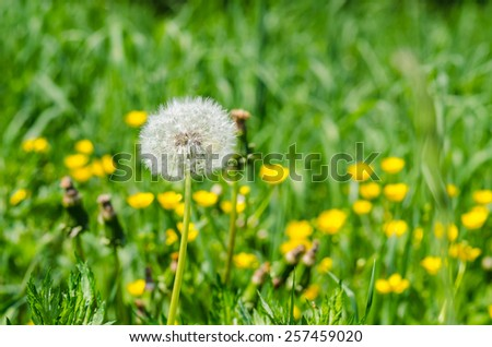 Photo of dandelion close-up with selective focus and shallow depth of field. Focus is on the dandelion/ Dandelion - stock photo