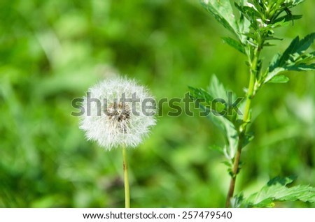 Photo of dandellions close-up with selective focus and shallow depth of field. Focus is on dandelion flower./ Dandelion - stock photo