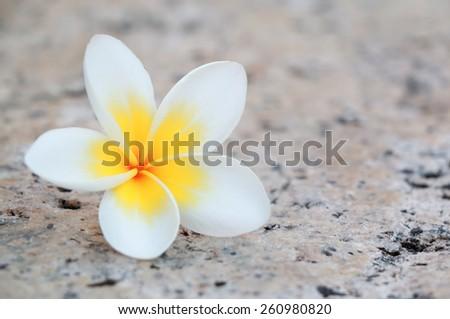 Photo of delicate frangipani plumeria flowers. - stock photo