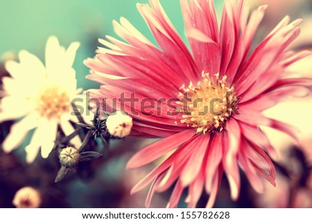 photo of delicate red aster - stock photo