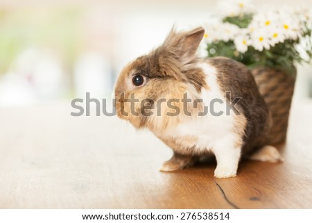 Photo of dwarf rabbit on wooden table next to a pot with marguerites - stock photo