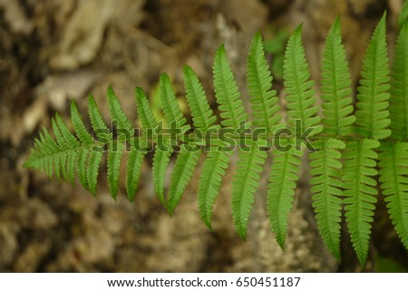 Photo of fern in a natural environment. On some photos it is as isolated from the background, and where he is in a forest.
