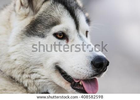 Photo of Fluffy Husky Dog Portrait. Syberian Husky Dog Portrait - stock photo