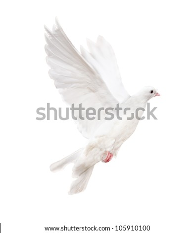 photo of flying dove isolated on white background - stock photo