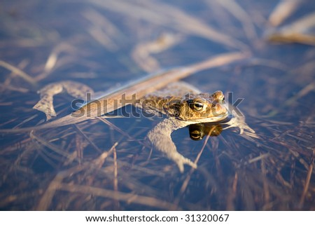 photo of frog floating in pond - stock photo