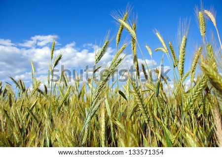Photo of fully grown grain - stock photo