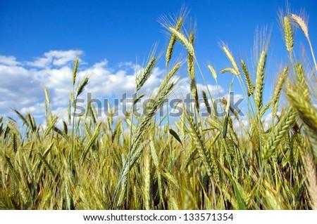 Photo of fully grown grain - stock photo