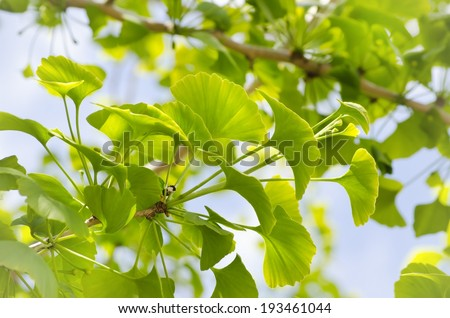 Photo of Ginkgo Biloba Tree Leaves Over Blue Sky  - stock photo