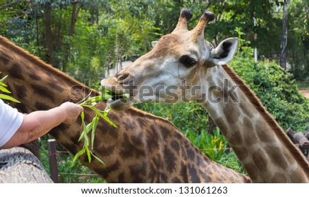 Photo of giraffe eating vegetables