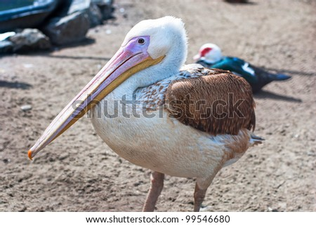 Photo of great white pelican - stock photo