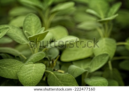 Photo of Lambs Ear foliage plant. The leaves of this plant are covered with a soft hair like fibers. - stock photo