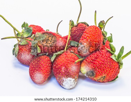 photo of mouldy strawberries covered in white fungus and decaying waste,on a white background - stock photo
