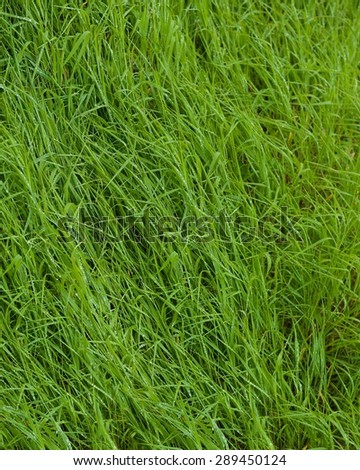 Photo of natural beautiful green background with selective focus, photo of the beautiful green grass texture, blur on the corner, not illustration, fresh spring grass background after the rain - stock photo