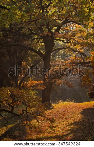Photo of picturesque sun-illuminated oak grove wood of old aged broad-crowned golden-leaved trees with colorful heavy foliage on autumn timber land background, vertical picture