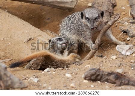 photo of playful meerkats - stock photo
