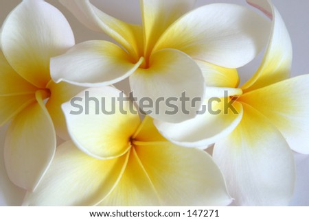 Photo of plumeria flowers set up in a still life. - stock photo