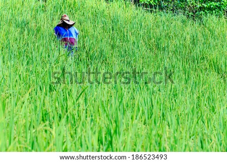 photo of scarecrow in rice field on a sunny day