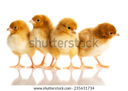Photo of small cute chickens. - stock photo