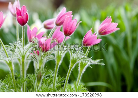 Photo of snowdrops against green grass (focus on a flower) - stock photo