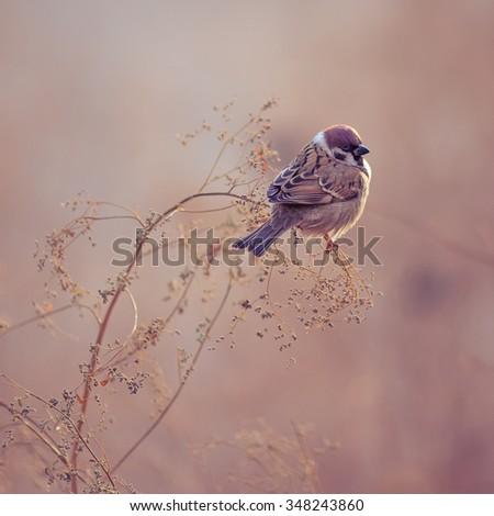 Photo of Sparrow Bird Sitting on Old Stick. Frozen Sparrow Bird Winter Portrait Bright Background - stock photo