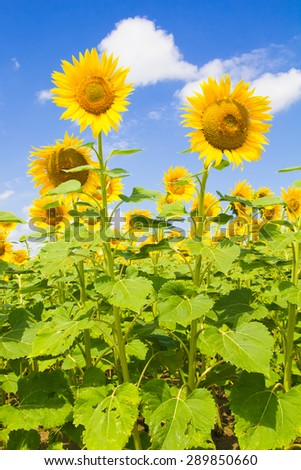 Photo of sunflower field over cloudy blue sky and bright sun lights in Umbria - Italy.