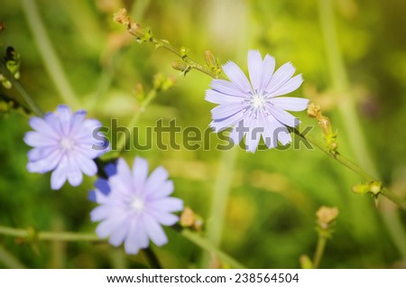 Photo of the Blue Chicory Flower Over Green Grass  - stock photo