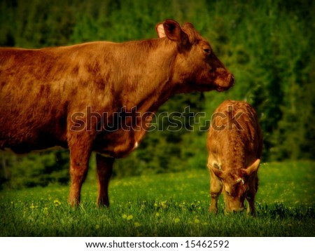 Photo of the breeding cow with calf on a meadow. - stock photo