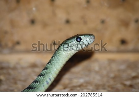 Photo of the Dendroaspis angusticeps (Green Mamba) - stock photo