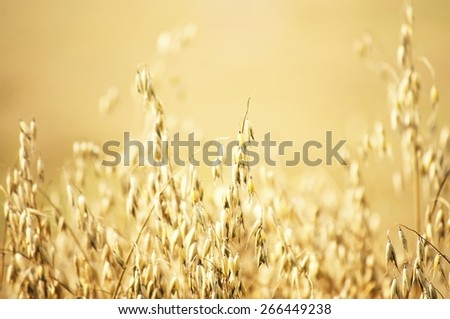 Photo of The Harvesting Oat Field Background - stock photo