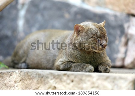 photo of the jaguarundi on the stone - stock photo