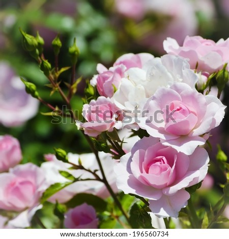 Photo of the Rose Flower in Spring Time  - stock photo