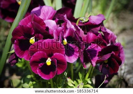 Photo of the Spring Multicolored Pansies Flowers