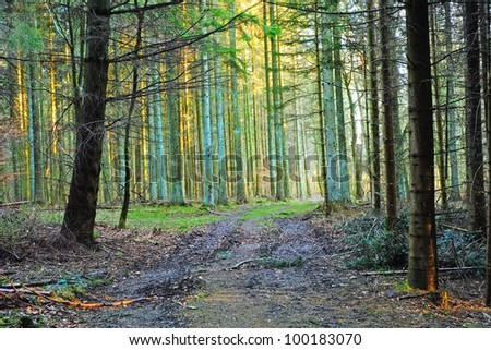 Photo of the Sun in the pine forest - stock photo