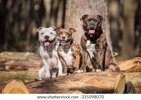 photo of three beautiful stafford bull terrier posing outside - stock photo