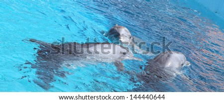 Photo of three dolphins swimming in blue pool.