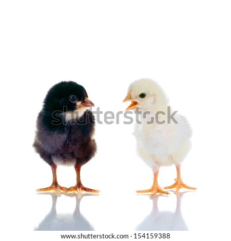 Photo of two cute baby chicks, with reflection, over white background. Studio shot. - stock photo