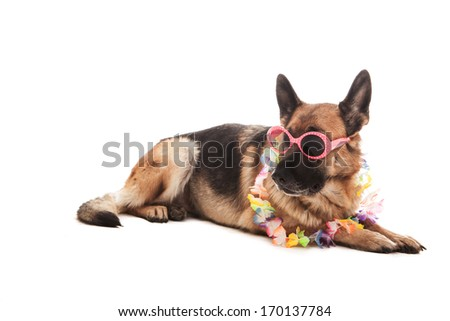 Photo of two german shepherds with hawaiian outfit