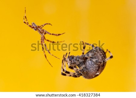 Photo of two giant and dangerous spiders - stock photo