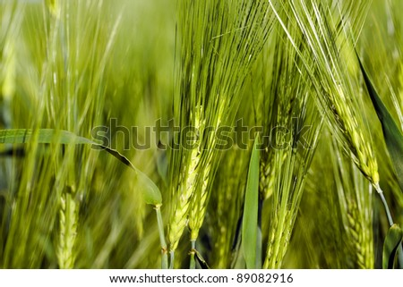 Photo of unripe green ears of cereals - stock photo