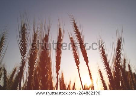 photo of wheat field at sunrise sun burst. glitter overlay  - stock photo