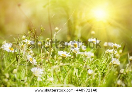 Photo of White Daisies Field in Sunny Day  - stock photo