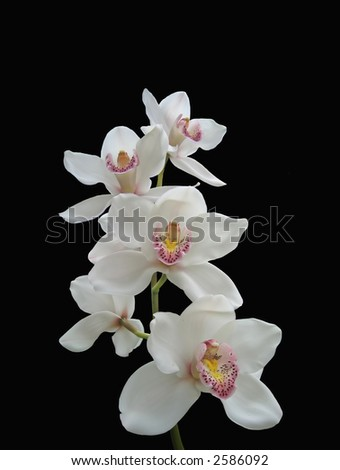 Photo of white orchids (isolated on black)