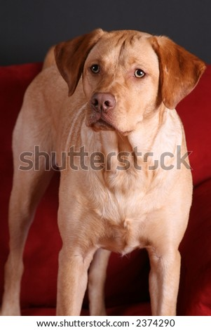 Photo of yellow lab on sofa