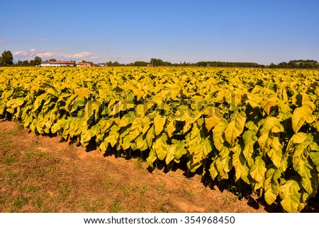 Photo Picture of a Big Beautiful Tobacco Field - stock photo