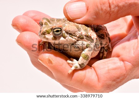 Photo Picture of a Bufo Common European Toad