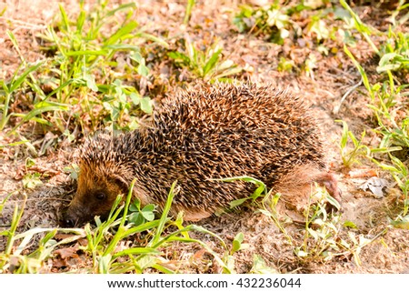 Photo  Picture of an European Hedgehog Mammal Animal - stock photo