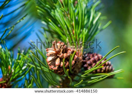 Photo Pine branch with cone close-up - stock photo