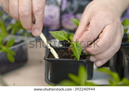 Photo planting seedlings in the home tray - stock photo
