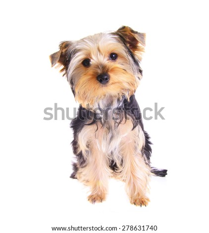 Photo Puppy Yorkshire Terrier. Portrait. Isolated on White Background - stock photo